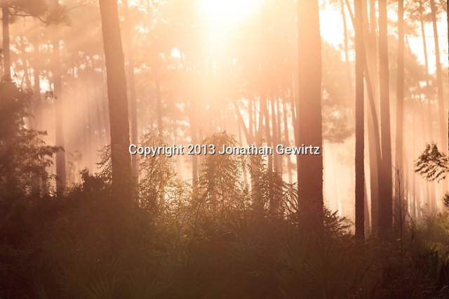 Morning fog in the pine forest at Long Pine Key in Everglades National Park, Florida. (Jonathan Gewirtz   jonathan@gewirtz.net)