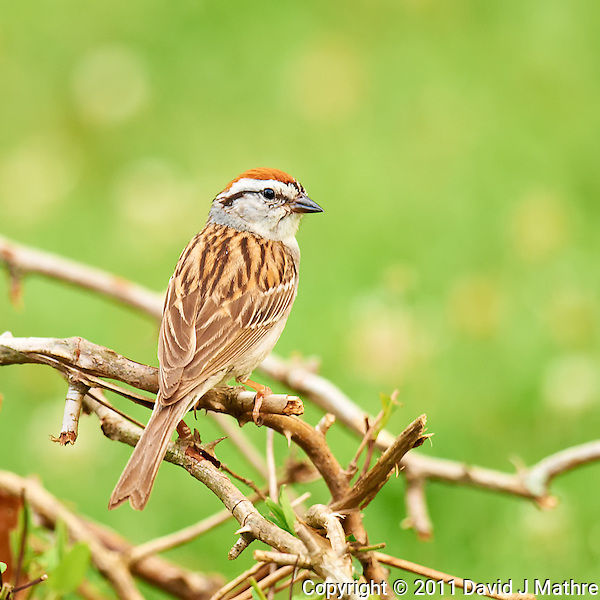 Chipping Sparrow. Summer Nature in New Jersey. Image taken with a Nikon D3x and 600 mm f/4 VR lens (ISO 400, 600 mm, f/4, 1/50 sec) on a tripod, VR-ON, Mirror-UP. Raw image processed with Capture One Pro 6, Nik Define 2, and Photoshop CS5. (David J Mathre)