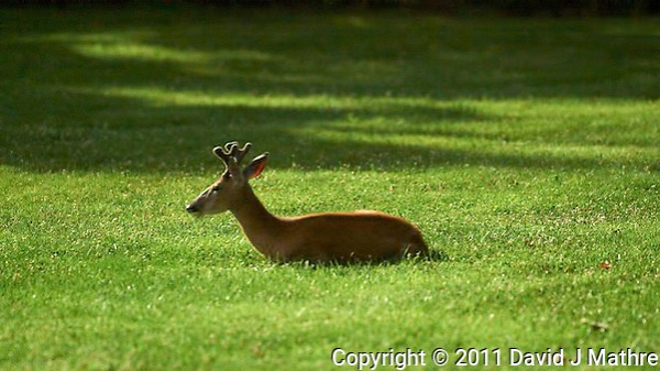 Young Buck Moonlighting. Summer Night in New Jersey. Image taken with a Nikon D3s and 200 mm f/2 lens (ISO 25600, 200 mm, f/2, 1 sec). Raw image processed with Capture One Pro 6 and Photoshop CS5, Topaz DeNoise 5. (David J Mathre)