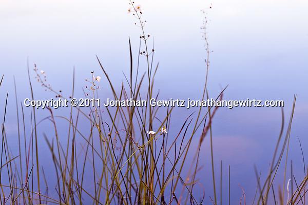 Wildflowers on the edge of Pine Glades Lake in Everglades National Park. (Copyright 2011 Jonathan Gewirtz jonathan@gewirtz.net)