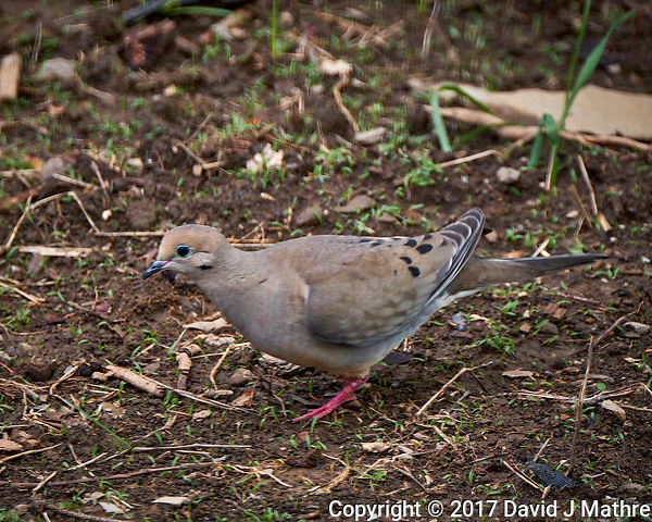 Mourning Dove in my Garden. Spring in New Jersey. Image taken with a Fuji X-T2 camera and 100-400 mm OIS lens (ISO 200, 400 mm, f/6.4, 1/125 sec). (© 2017 David J Mathre)