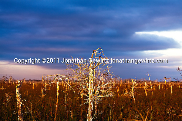 Dwarf Cypress forest in Everglades National Park, Florida. (© Jonathan Gewirtz)