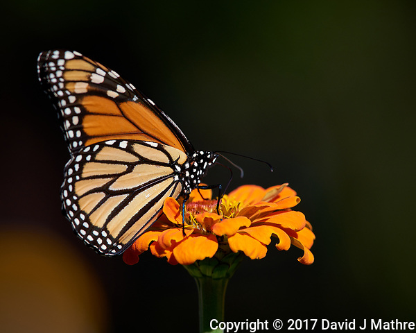 Monarch Butterfly on an Orange Flower. Autumn Backyard Nature in New Jersey. Image taken with a Nikon D810a camera and 300 mm f/4 lens (ISO 200, 300 mm, f/8, 1/800 sec) (David J Mathre)