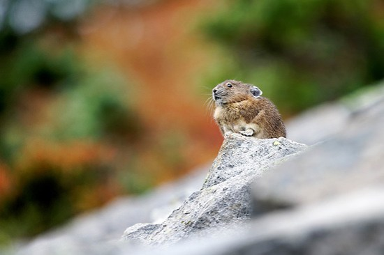 American pika (Ochotona princeps) sitting on boulder, autumn color in background, Mount Rainier National Park, Washington, USA (Brad Mitchell Photography)