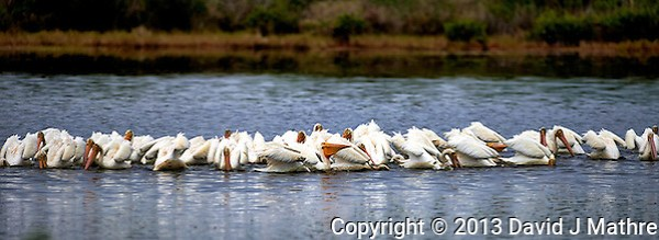Flock of White Pelicans Feeding along Black Point Wildlife Drive in Merritt Island National Wildlife Refuge. Image taken with a Nikon D4 and 300 mm f/2.8 VR lens (ISO 100, 300 mm, f/2.8, 1/2500 sec). (David J Mathre)
