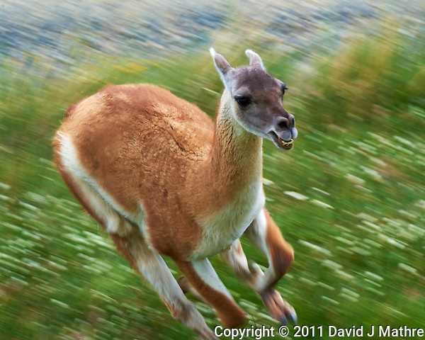 Guanaco Running at the Entrance to Torres del Paine National Park in Patagonia. Image taken with a Nikon D3s camera and 70-300 mm VR lens (ISO 200, 300 mm, f/16, 1/100 sec). (David J Mathre)