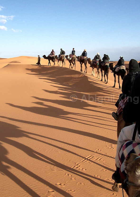 Line of camels trekking across a sand dune in the Sahara