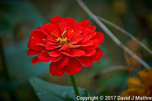 Red Dahlia Bloom. Autumn flowers in my garden. Image taken with a Fuji X-T2 camera and 100-400 mm OIS telephoto zoom lens (ISO 200, 400 mm, f/5.6, 1/140 sec). (David J Mathre)