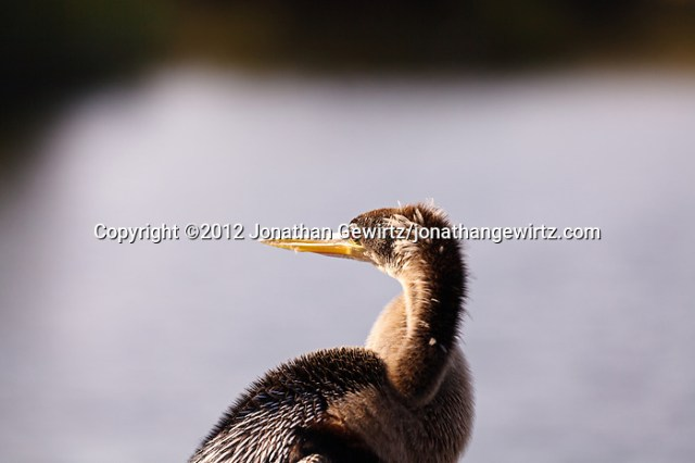 An Anhinga (Anhinga anhinga) on the Anhinga Trail in Everglades National Park, Florida. (© 2012 Jonathan Gewirtz / jonathan@gewirtz.net)