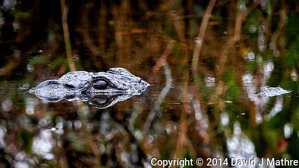 Alligator Eyes. Merritt Island National Wildlife Refuge. Image taken with a Nikon D4 camera and 500 mm f/4 VR telephoto lens (ISO 2800, 500 mm, f/4, 1/500 sec) (David J Mathre)