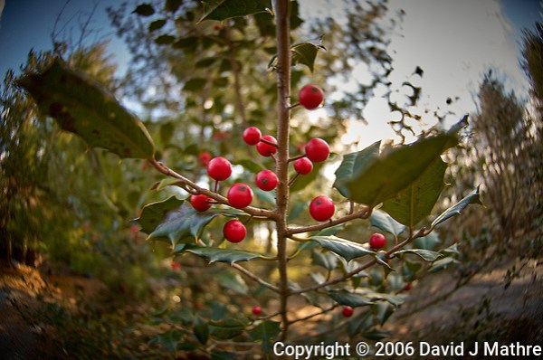 Red Ivy Berries. Backyard Winter Nature in New Jersey. Image taken with a Nikon D2xs camera and 10.5 mm f/2.8 fisheye lens (ISO 100, 10.5 mm, f/2.8, 1/160 sec). (David J Mathre)