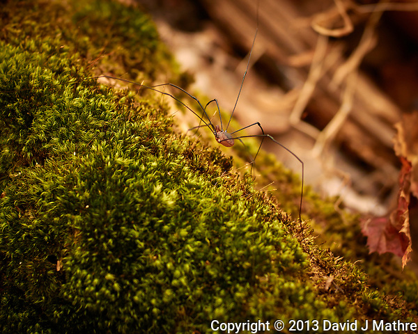 Daddy Longlegs (actually Harvestmen)  Autumn Nature in New Jersey. Image taken with a Nikon 1 V2 camera and 32 mm f/1.2 lens (ISO 160, 32 mm, f/2.5, 1/400 sec). (David J Mathre)