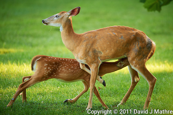 Milking Time Fawn and Doe. Summer Backyard Nature in New Jersey. Image taken with a Nikon D3s camera and 400 mm f/2.8G II lens (ISO720, 400 mm, f/2.8, 1/400 sec). (David J Mathre)