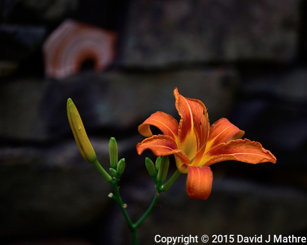 Day Lily. One thing I like about these flowers is deer don't eat them. Image taken with a Nikon D810A camera and 70-200 mm f/4 lens (ISO 200, 102 mm, f/4, 1/500 sec). (David J Mathre)