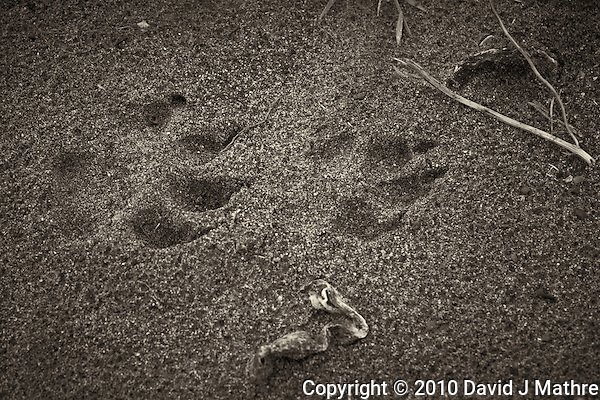 Animal Tracks near Pico Creek, San Simeon, Central California Coast. Image taken with a Nikon D3s and 50 mm f/1.4G lens (ISO 800, 50 mm, f/5.6, 1/250 sec). (David J Mathre)
