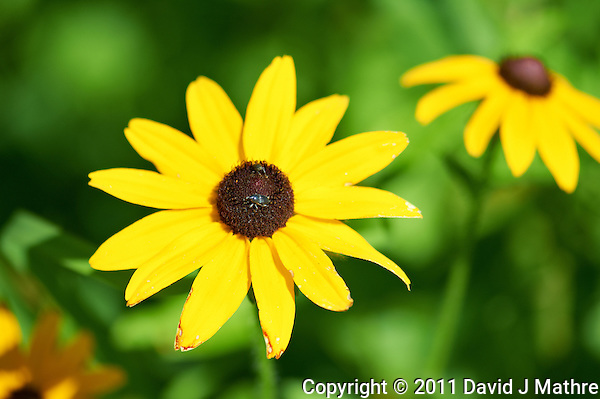 Black Eyed Susan. Summer Wildflowers at the Sourland Mountain Reserve.  Image taken with a Nikon D3s and 105 mm  f/2.8 macro lens + TC-E III 20 teleconverter (ISO 200, 205 mm, f/6.3, 1/500 sec).  Raw image processed with Capture One Pro, Focus Magic, and Photoshop CS5. (David J Mathre)