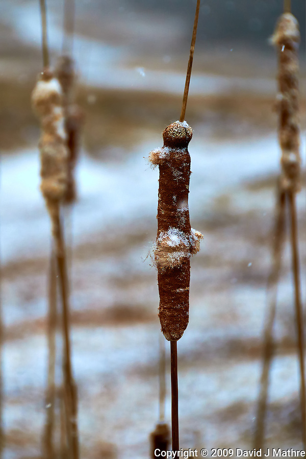 Cattail in a Winter Snowstorm at the Sourland Mountain Preserve. Nikon D300 18-200 mm f/3.5-5.6 VR lens (ISO 400, 130 mm, f/5.6, 1/640 sec). (David J. Mathre)