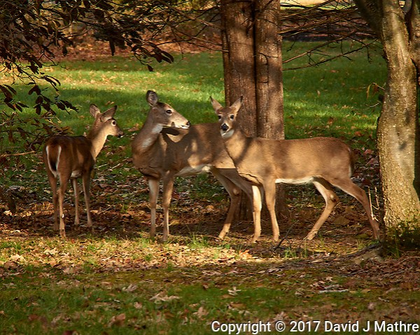 Trio of wary does in the afternoon sun. Autumn Backyard Nature in New Jersey. Image taken with a Leica T camera and 55-135 mm lens (ISO 100, 135 mm, f/5.6, 1/100 sec). (David J Mathre)