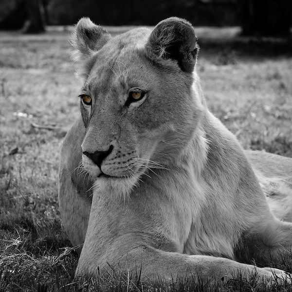 Lioness in South Africa (Christopher Reeves)