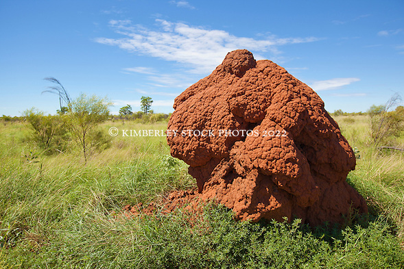 A spinifex termite mound by the roadside on the main highway to Fitzroy Crossing in the Kimberley wet season.  Spinifex termites build large dome shaped mounds, up to several metres high. (Annabelle Sandes/© Annabelle Sandes | Kimberley Media 2010)