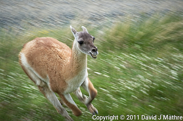 Guanaco Running. Entrance to Torres del Paine National Park, Chilie. Image taken with a D3s and 70-300 mm VR lens. (David J Mathre)