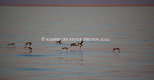 A flock of Brown boobies leave Adele Island to forage for food. (Annabelle Sandes/© Annabelle Sandes | Kimberley Media 2012)