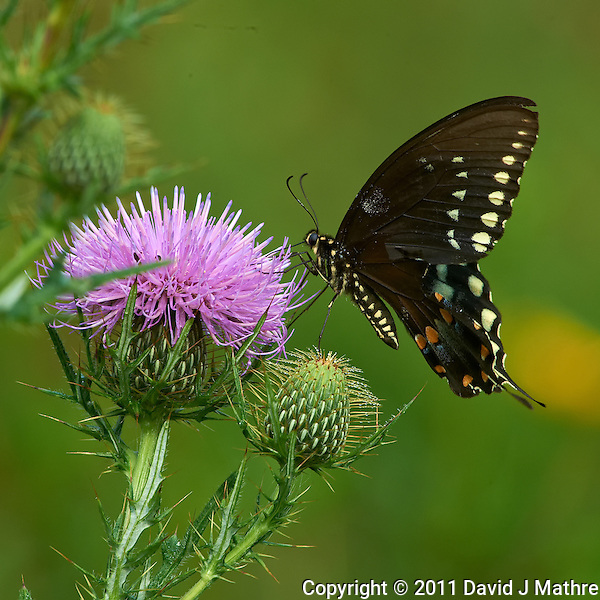 Black Swallowtail Butterfly on Thistle Bloom. Sourland Mountain Preserve, Summer Nature in New Jersey. Image taken with a Nikon D3s and 300 mm f/2.8 VR lens + TC-E III 20 teleconverter (ISO 640, 600 mm, f/16, 1/500 sec). Raw image processed with Capture One Pro 6, Nik Define, and Photoshop CS5. (David J Mathre)