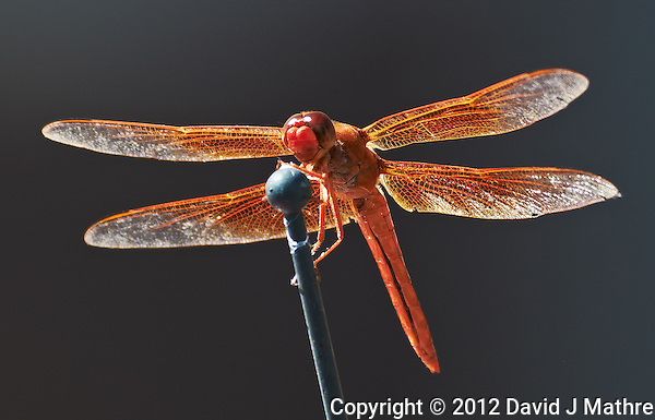 Orange Dragonfly on a Car Antenna. Image taken with a Nikon D300 and 80-400 mm VR lens (ISO 640, 400 mm, f/8, 1/250 sec). (David J Mathre)