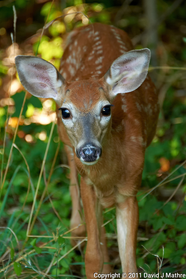 Inquisitive Fawn. Backyard Nature in my Backyard -- Summer in New Jersey. Image taken with a Nikon D700 and 28-300 mm lens (ISO 800, 300 mm, f/5.6, 1/60 sec). Raw image processed with Capture One Pro 6, Nik Define 2, and Photoshop CS5. (David J Mathre)