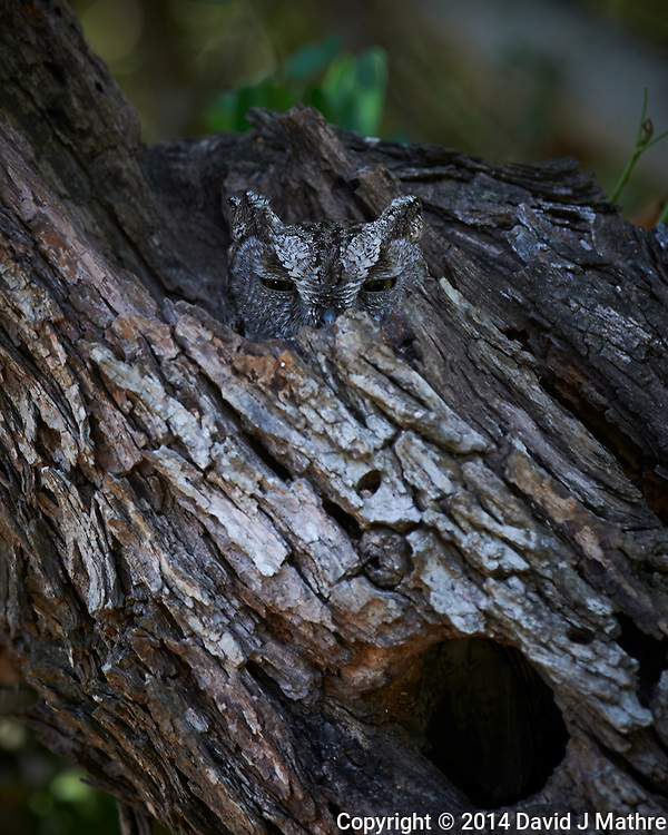 Screech Owl at Dos Vandas Ranch in Southern Texas. Image taken with a Nikon D4 camera and 500 mm f/4 VR lens (ISO 100, 500 mm, f/5.6, 1/30 sec) (David J Mathre)