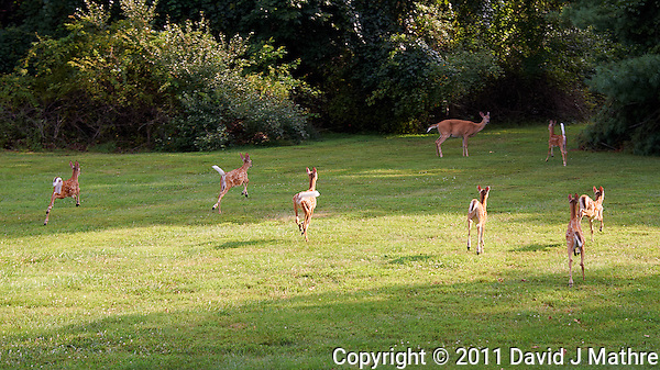 Seven Fawns Running and the Den Mother Doe in My Backyard. Summer Nature in New Jersey. Image taken with a Nikon D700 and 28-300 mm VR lens (ISO 200, 72 mm, f/5.6, 1/200 sec). (David J Mathre)