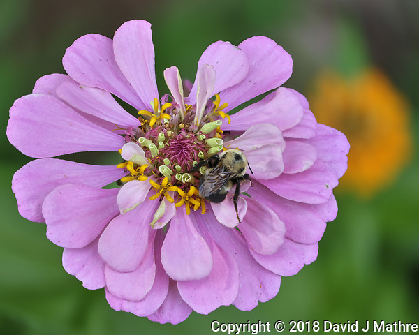 Bumble Bee on a Zinnia Bloom. Focus stacked composite of 25 images taken with a Fuji X-H1 camera and 80 mm f/2.8 macro lens (ISO 200, 80 mm, f/2.8, 1/250 sec). Images processed with Helicon Focus. (DAVID J MATHRE)