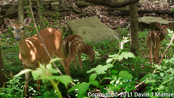 Doe and Two Fawns. Late Spring in New Jersey. Image taken with a Leica D-Lux 5 camera (ISO 400, 19.2 mm, f/3.3, 1/125 sec). Raw image processed with Capture One Pro, Focus Magic, NIK Color Efex (Tonal Contrast), Nik Viveza, and Photoshop CS5. (David J Mathre)
