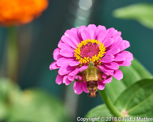 Clearwing Hummingbird Moth on a Zinnia Flower Image taken with a Nikon D5 camera and 70-200 mm f/2.8 lens/ (DAVID J MATHRE)