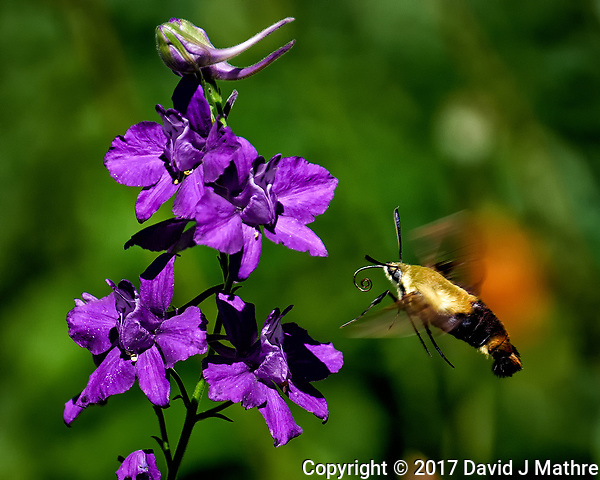 Clearwing Hummingbird Moth approaching purple delphiniium flowers. Backyard summer nature in New Jersey. Image taken with a Fuji X-T2 camera and 100-400 mm OIS telephoto zoom lens (ISO 200, 400 mm, f/5.6, 1/800 sec). (© 2017 David J Mathre)