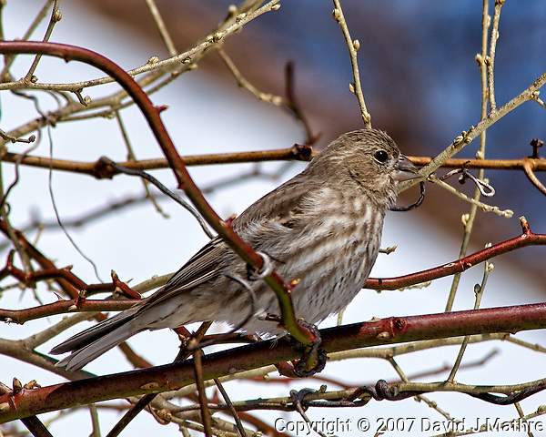 Crossed-bill/beak finch or female house finch (?) on a vine. Backyard winter nature in New Jersey. Image taken with a Nikon D2xs camera and 80-400 mm VR lens (ISO 100, 400 mm, f/9, 1/320 sec). (David J Mathre)