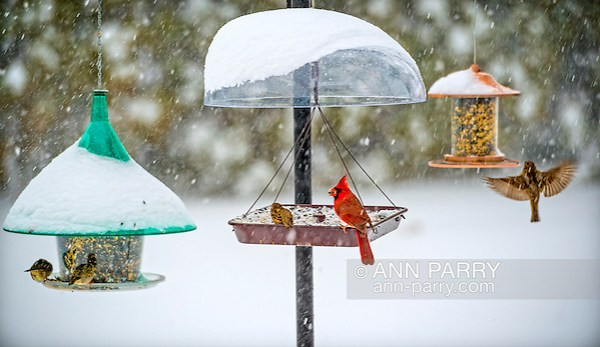 Merrick, New York, USA. January 23, 2016. Travel is strictly for the birds, when Blizzard Jonas brings dangerous snow and gusting winds to Long Island, and Governor Cuomo bans travel, shutting down L.I.'s roads and railroads, due to hazardous conditions. A red male cardinal and several wrens eat seeds from a variety of hanging bird feeders in a suburban backyard, as the winter Storm of 2016 already dropped over a foot of snow on the south shore town of Merrick, with much more snow expected throughout Saturday and early Sunday. (Ann Parry/Ann Parry, ann-parry.com)