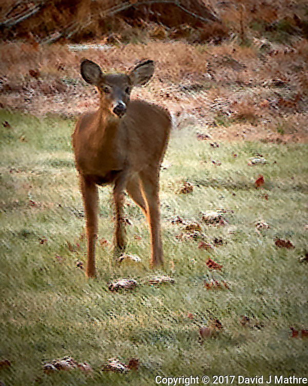 Inquisitive Doe at Dawn. Autumn Backyard Nature in New Jersey. Image taken with a Leica T camera and 18-56 mm lens (ISO 100, 56 mm, f/5.6, 1/6 sec). (David J Mathre)
