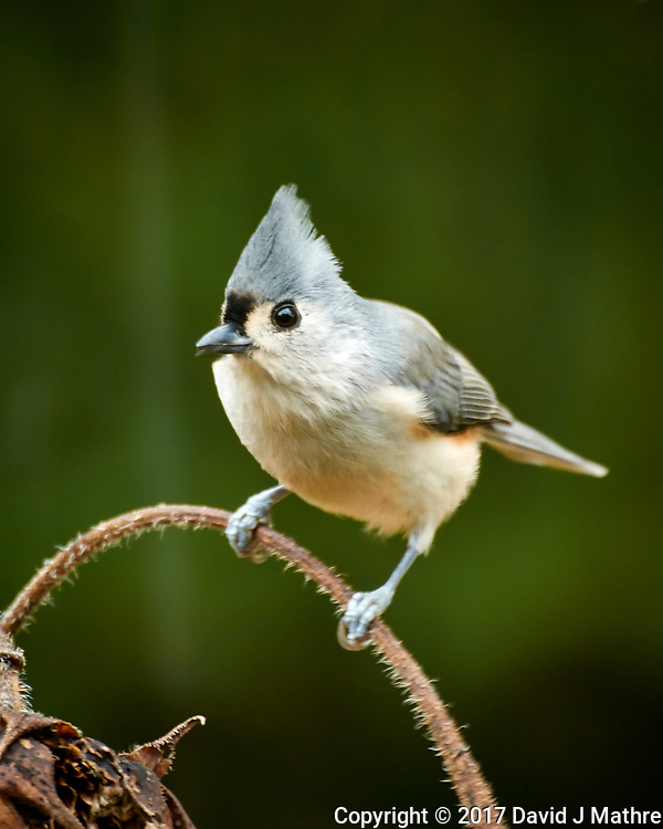 Tufted Titmouse looking for sunflower seeds. Autumn Backyard Nature in New Jersey. Image taken with a Nikon 1 V3 camera and 70-300 mm VR telephoto zoom lens (ISO 160, 300 mm, f/5.6, 1/15 sec). (David J Mathre)