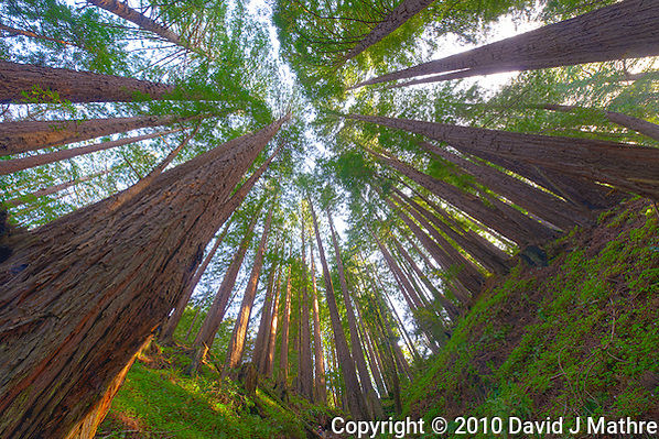 Wide Angle Looking up from a Coastal Redwood Forest. Image taken with a Nikon D3x and 14-24 mm f/2.8 lens (ISO 100, 14 mm, f/16, 2.5 sec). Raw image converted using Adobe Camera Raw 6.2 (landscape and used lens correction). HDR of 5 images (+2, +1, 0, -1, -2 EV) using Photoshop CS5 HDR Pro (saturated). (David J Mathre)
