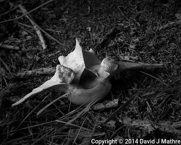 Vertebra on Carcass Island (Falkland Islands). Image taken with a Leica T camera and 18-56 mm lens (ISO 100, 56 mm, f/5.6, 1/200 sec). Raw image processed with Capture One Pro, Nik Silver Efex, and Photoshop CC. (David J Mathre)