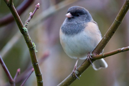 Female dark-eyed junco perched on vine maple branch, Snohomish, Washington, USA (Brad Mitchell Photography)