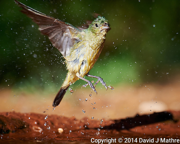 Female Painted Bunting Leaving After a Bird Bath at Campos Viejos Ranch in Southern Texas. Image taken with a Nikon D4 camera and 600 mm f/4 VR lens (ISO 500, 600 mm, f/5.6, 1/2000 sec). (David J Mathre)