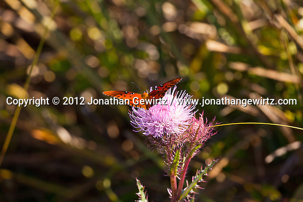 A Gulf Fritillery (Agraulis vanillae) butterfly on a thistle in the Shark Valley section of Everglades National Park, Florida. (© 2012 Jonathan Gewirtz / jonathan@gewirtz.net)