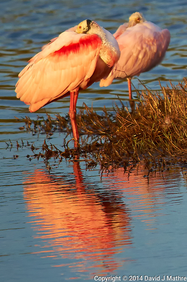 Roseate Spoonbill Resting in the Afternoon Sun at Merritt Island National Wildlife Refuge. Image taken with a Nikon D3x camera and 300 mm f/4 lens (ISO 500, 300 mm, f/5.6, 1/1000 sec) (David J Mathre)