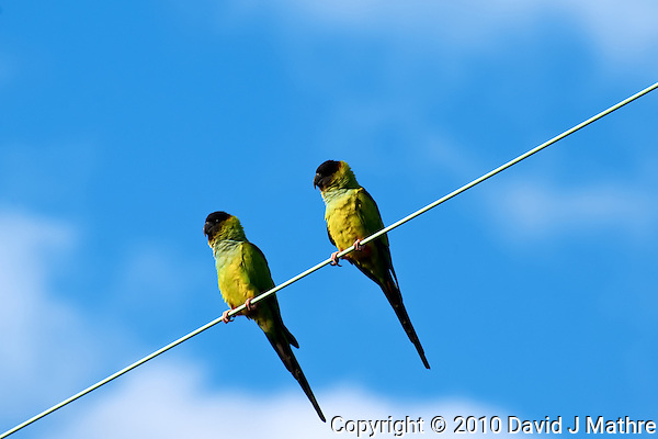 Pair of Parakeets on a Wire at Ft. De Soto Park, St. Petersburg Florida. Image taken with a Nikon D3x camera and 300 mm f/2.8 lens (ISO 200, 300 mm, f/8, 1/250 sec) (David J Mathre)