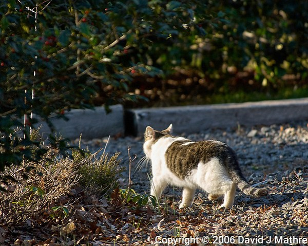 Local Cat Leaving. Early Winter Backyard Nature in New Jersey. Image taken with a Nikon D2xs and 80-400 mm VR lens (ISO 200, 400 mm, f/5.6, 1/350 sec). (David J Mathre)