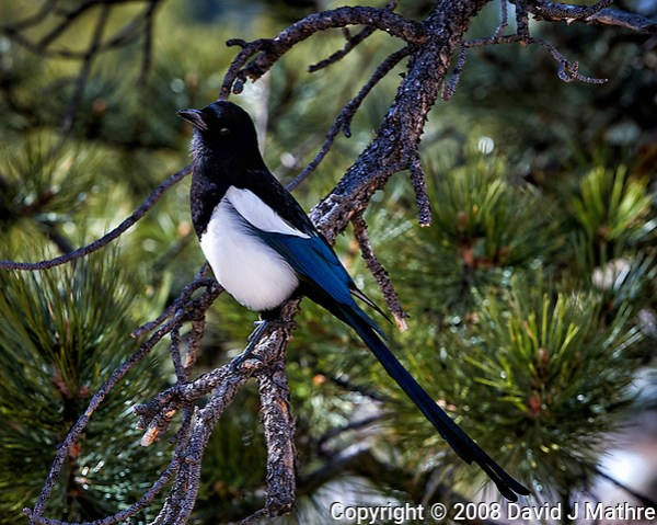 Black-billed Magpie in a pine tree at Endovalley in Rocky Mountain National Park. Image taken with a Nikon D3 camera and 70-200 mm f/2.8 VR lens (ISO 200, 125 mm, f/2.8, 1/1600 sec). (David J Mathre)