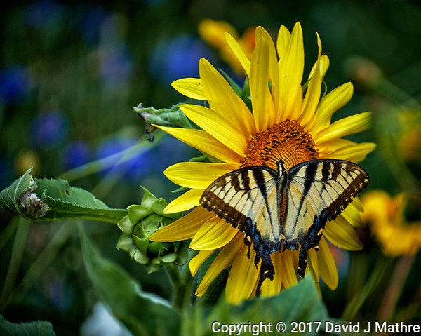 Tiger Swallowtail Butterfly on a Sunflower. Backyard summer nature in New Jersey. Image taken with a Fuji X-T2 camera and 100-400 mm OIS telephoto zoom lens (ISO 200, 400 mm, f/5.6, 1/350 sec). (© 2017 David J Mathre)