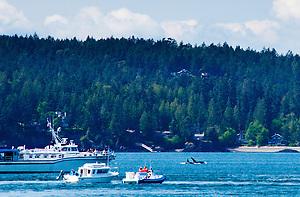 Orca Whale (Orcinus Orca) off Yellow Island, San Juan Islands, Washington, US (Roddy Scheer)